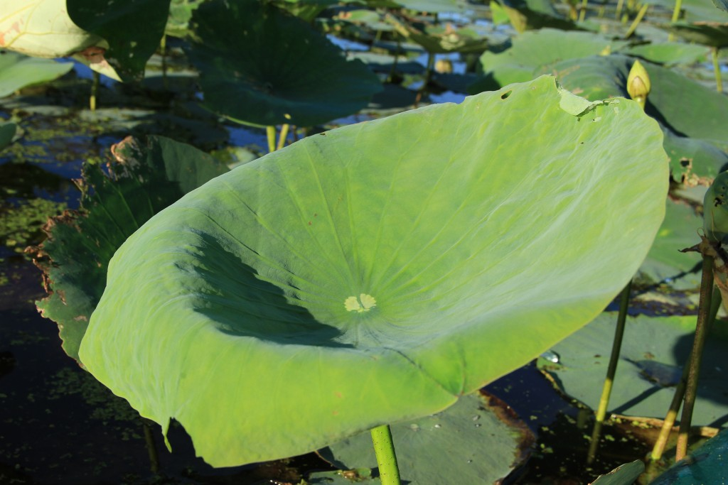 American Lotus Leaf Upturned