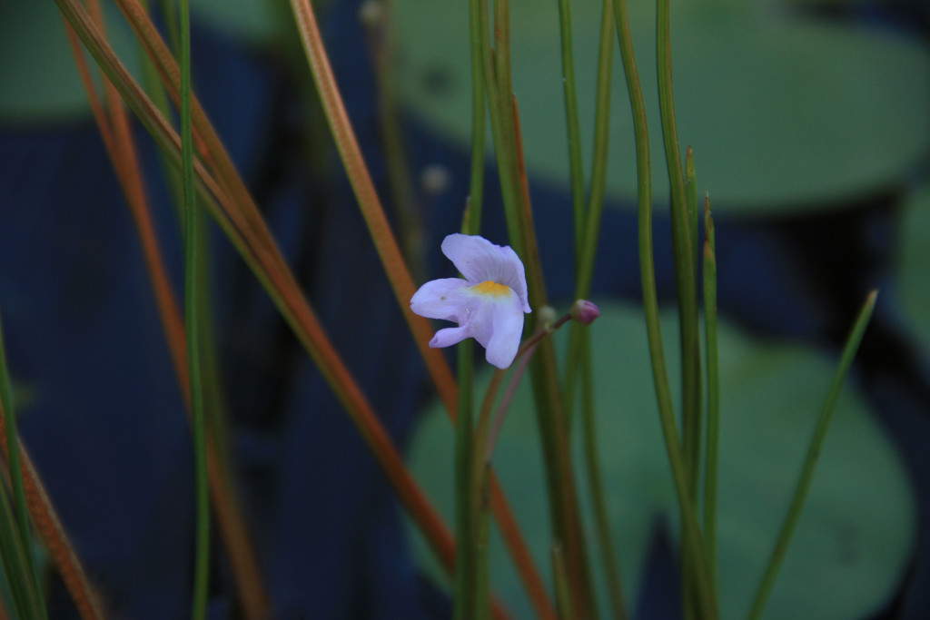 Purple-Bladderwort-From-Kayak