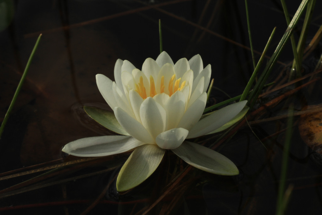 White-Water-Lily-From-Tripod